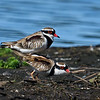 Black-fronted Dotterel's mating (Elseyornis melanops)