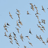 Sharp-tailed Sandpipers in flight (Calidris acuminata)