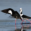 Black-winged Stilt's (Himantopus himantopus)