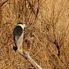 Black-crowned Night-Heron (1) - Copy