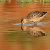 Long-billed Dowitcher (24)