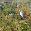 Cattle Egret (8)