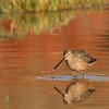 Long-billed Dowitcher (16)