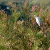 Cattle Egret (7)
