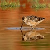 Long-billed Dowitcher (25)