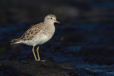 Sharp Tailed Sandpiper