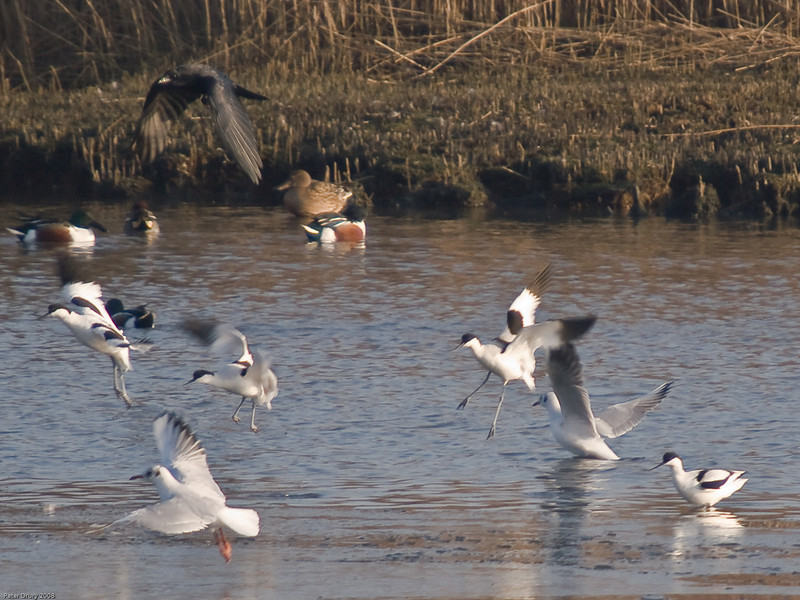 Avocet (Recurvirostra avosetta). Copyright 2009 Peter Drury<br /> Farlington Marshes, langstone Harbour<br /> These birds were 'spooked' by the crow flying overhead.