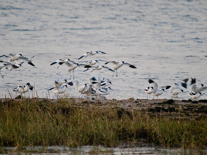 Avocet (Recurvirostra avosetta). Copyright Peter Drury 2009<br /> The Avocet come into land near a Black -tailed Godwit which looks surprised and is interupted in its feeding.