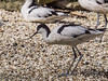 Pied Avocet at Birdworld, Farnham