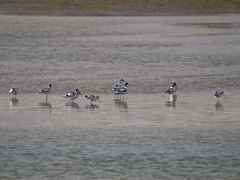 Avocet (Recurvirostra avosetta). Copyright 2009 Peter Drury<br /> With the tide racing in, the Avocet feed on the last remaining mud bank in shallow water.