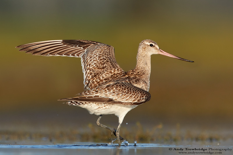 Bar-tailed Godwit (Limosa lapponica)