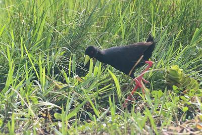 Black Crake