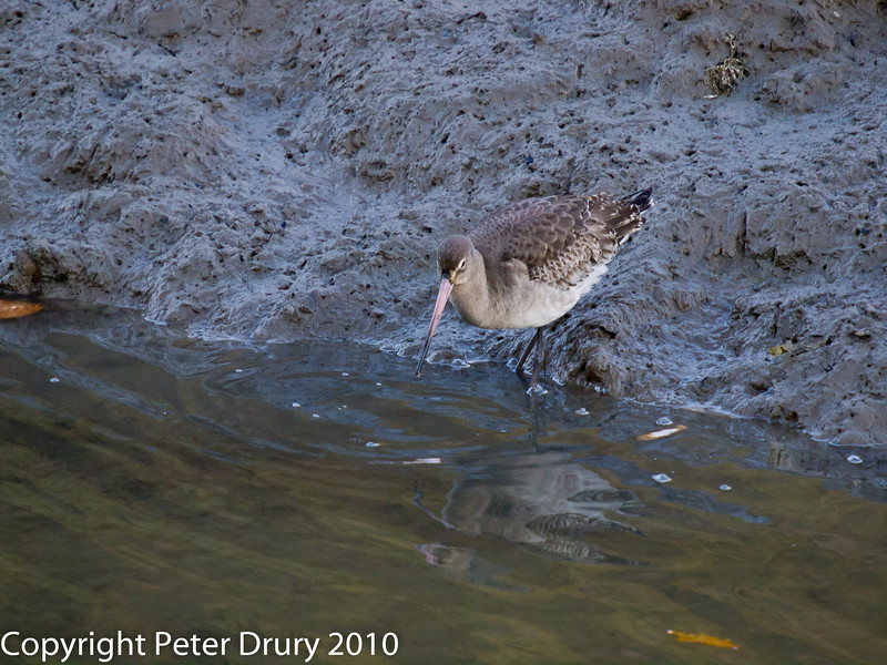 Black-tailed Godwit at Broadmarsh. Copyright Peter Drury 2010