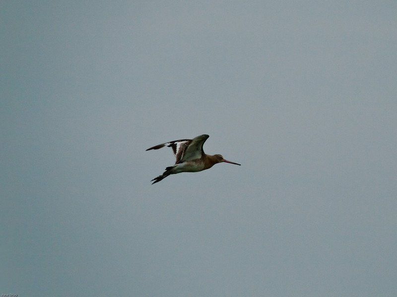 Black-tailed Godwit (Limosa limosa). Copyright 2009 Peter Drury<br /> Distinctive wing pattern in flight.<br /> Farlington Marshes, Langstone Harbour