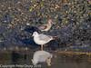 03 Dec 2010 - Black-tailed Godwit at Hermitage Stream. . Copyright Peter Drury 2010.