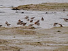 Black-tailed Godwit (Limosa limosa). Copyright Peter Drury 2010<br /> This flock were on the mud flats between the road bridge and the remains of the railway bridge, North Hayling. The tide was coming in and within 30 mins, all of this area was covered in water. These birds left to roost at Farlington Marshes (approx 2 flying miles away) about 15mins after this shot was taken