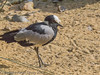 Also known as Blacksmith Plover.