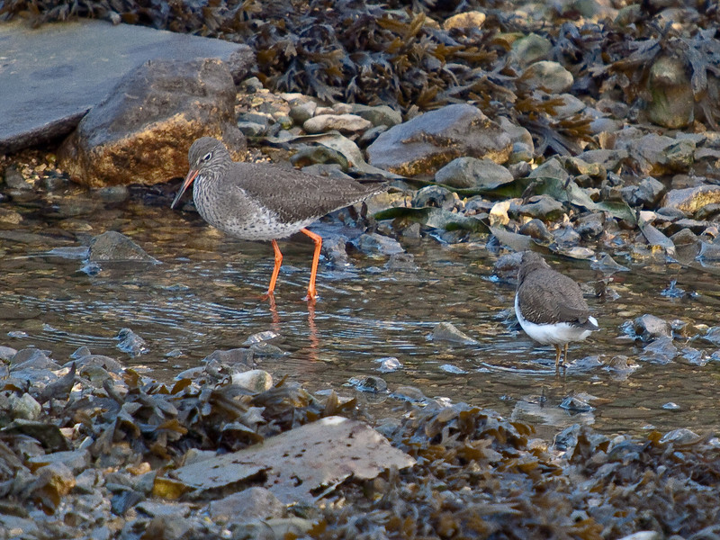 Common Sandpiper (Actitis hypoleucos) and  Redshank (Tringa totanus). Copyright Peter Drury 2010<br /> This image shows the relative size of the sandpiper.