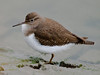 Common Sandpiper (Actitis hypoleucos). Copyright 2009 Peter Drury