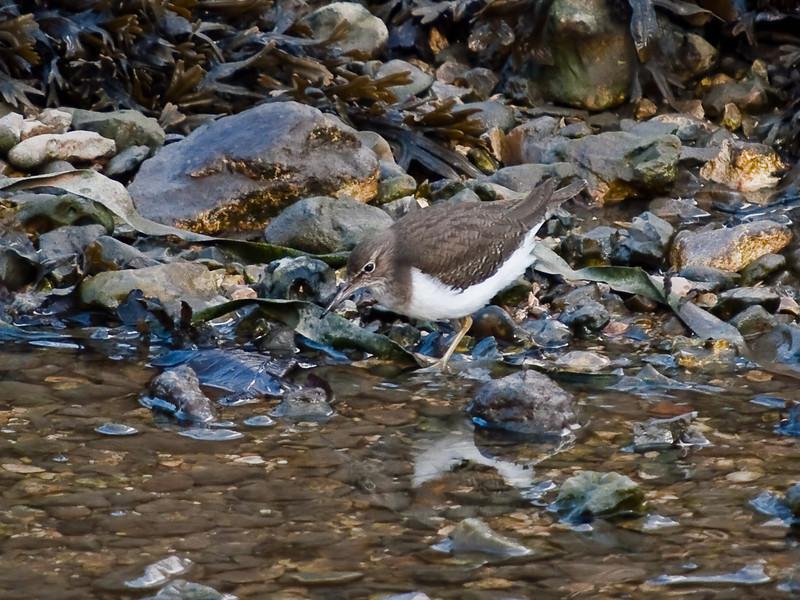 Common Sandpiper (Actitis hypoleucos). Copyright Peter Drury 2010