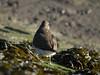 Common Sandpiper (Actitis hypoleucos). Copyright 2009 Peter Drury<br /> Langstone Harbour