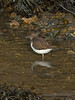 Common Sandpiper (Actitis hypoleucos). Copyright Peter Drury 2010