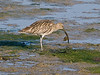 Curlew (Numenius arquata). Copyright Peter Drury 2009<br /> Having eaten the inside, the shell is disposed of.