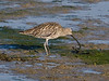 Curlew (Numenius arquata). Copyright Peter Drury 2009<br /> Found a lovely crab to eat.