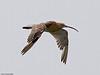 Curlew (Numenius arquata). Copyright 2009 Peter Drury<br /> In flight over Langstone Harbour