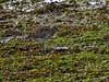 Curlew (Numenius arquata). Copyright 2009 Peter Drury<br /> Second feast<br /> Langstone Harbour