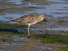 Curlew (Numenius arquata). Copyright Peter Drury 2009<br /> Now the hard bit- cracking open the shell