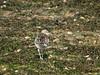 Curlew (Numenius arquata). Copyright 2009 Peter Drury