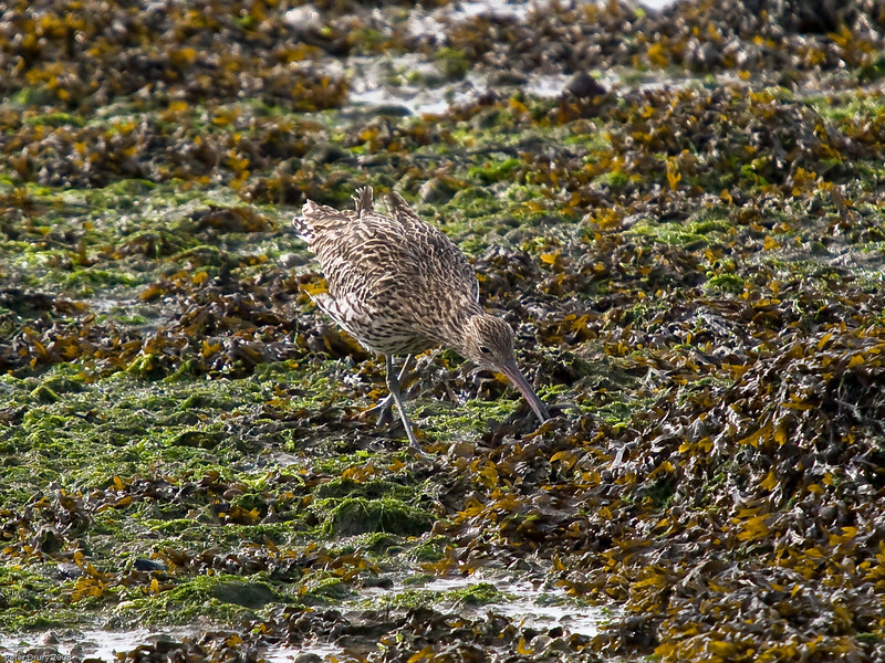 Curlew (Numenius arquata). Copyright 2009 Peter Drury<br /> Now, I wonder if there are any more crabs around<br /> Langstone Harbour