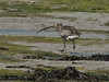 Curlew (re-cropped)<br /> The old oysterbeds, North Hayling Island