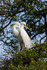 great egret_2173