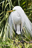 great egret_2196