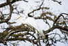 great egret_1024