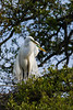 great egret_2176