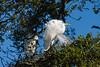 great egret_2014