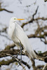 great egret_2392