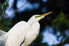great egret_4959
