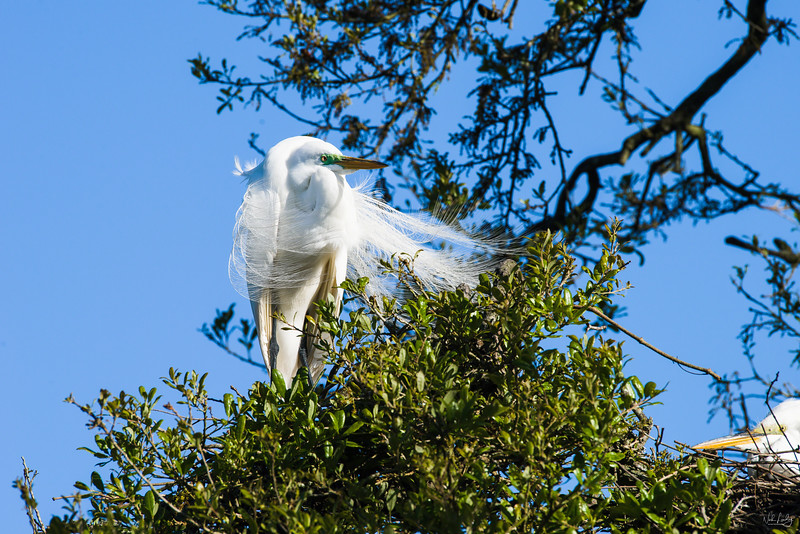 great egret_1976