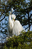 great egret_2169