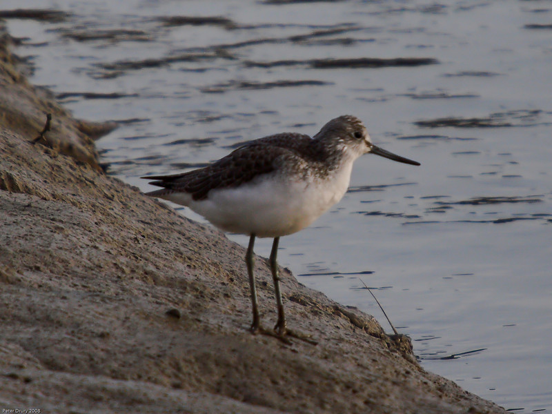 Greenshank (Tringa nebularis). Copyright 2009 Peter Drury<br /> Langstone Harbour