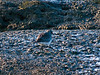 Grey Plover (Pluvialis squatarola). Copyright 2009 Peter Drury<br /> Langstone Harbour