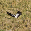 Lapwing at Farlington Marshes. Copyright Peter Drury 2011