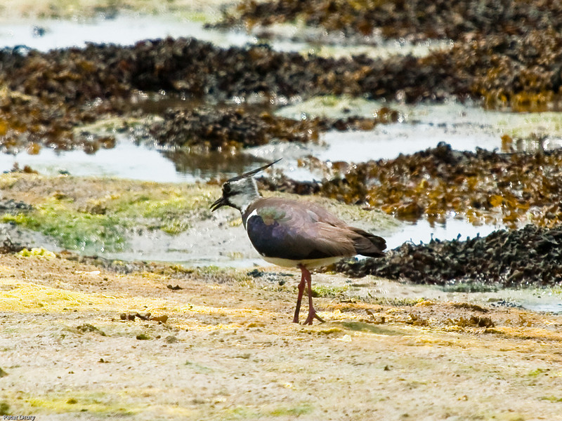 Lapwing (Vanellus vanellus). Copyright 2009 Peter Drury<br /> Male - Summer plumage. Farlington Marshes, Langstone Harbour.