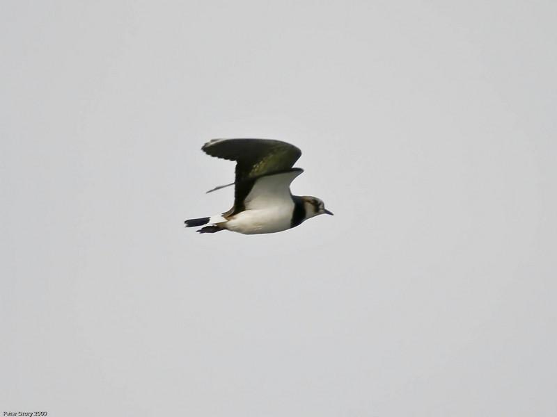 Lapwing (Vanellus vanellus). Copyright Peter Drury 2009
