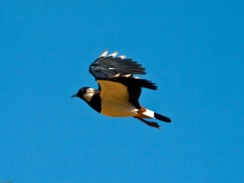 Lapwing (Vanellus vanellus). Copyright 2009 Peter Drury<br /> Waterlooville, Hampshire