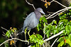 little blue heron_2859_150304